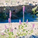 Arizona lupine by Ruth Nolan