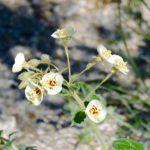Brown-eyed primrose by Ruth Nolan