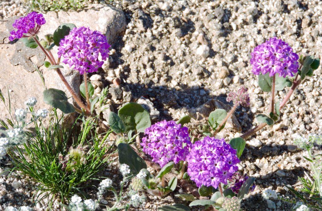 Desert sand verbena by Ruth Nolan
