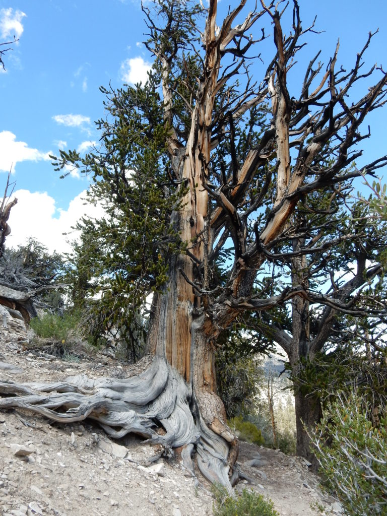 Bristlecone pine by Linda Castro