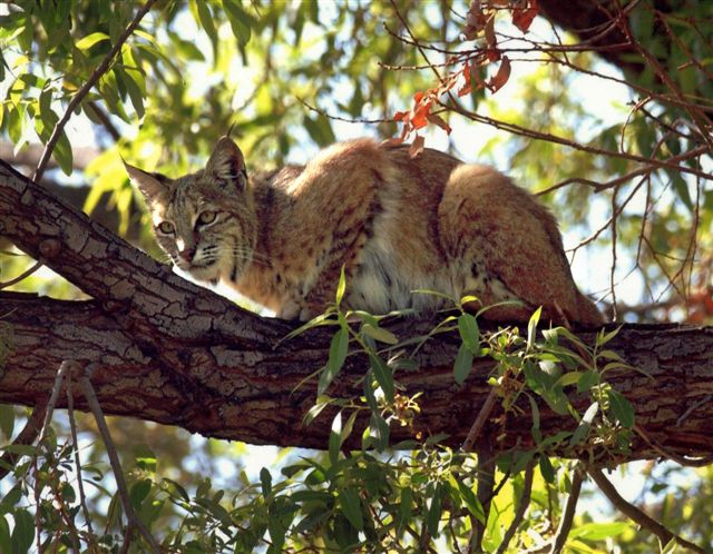 A bobcat sighted in Big Morongo Canyon Preserve. Photo courtesy of Friends of Big Morongo.