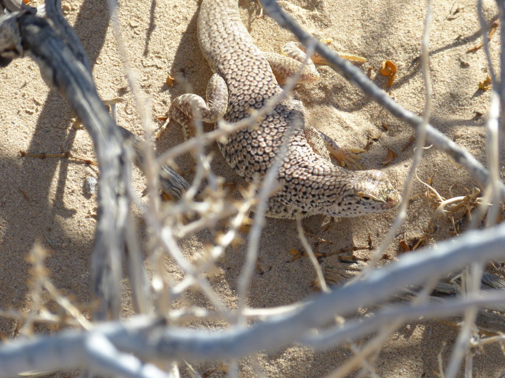 rare Mojave fringe-toed lizard, Cadiz Valley (Ryan Henson)