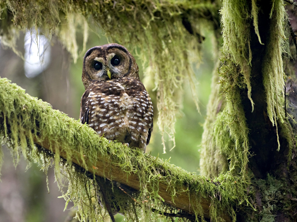 Endangered spotted owl. Photo by Robin Loznak/robinloznak.com