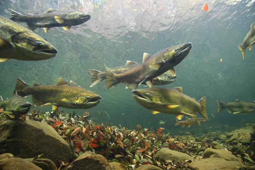 Smith River Salmon