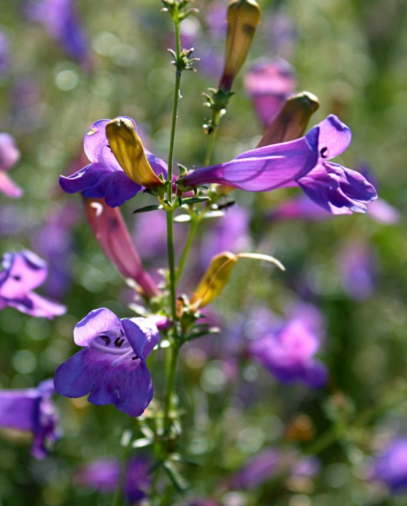 Sespe Creek purple flower